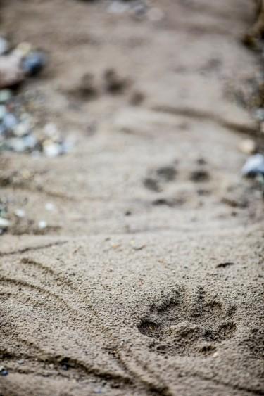Wolf paw prints near Slough Creek.
