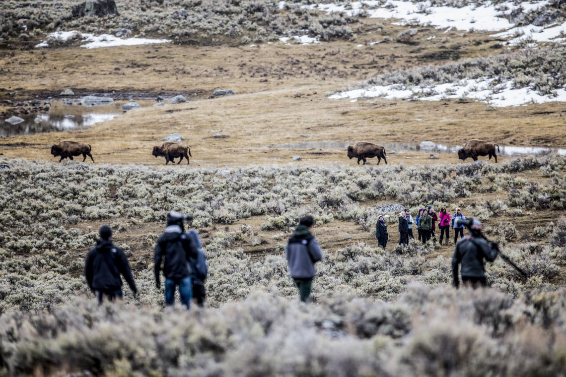 Bison make an iconic background for a field lecture. Predators rarely attack full-size, healthy bison, instead minimizing risk by targeting sick, young or dead animals.