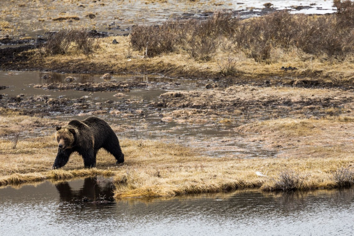 Grizzlies are omnivorous, feasting on everything from nuts, berries and roots to moths, rodents and moose. This grizzly is on its way to an easy snack: the carcass of a bison that drowned over the winter.