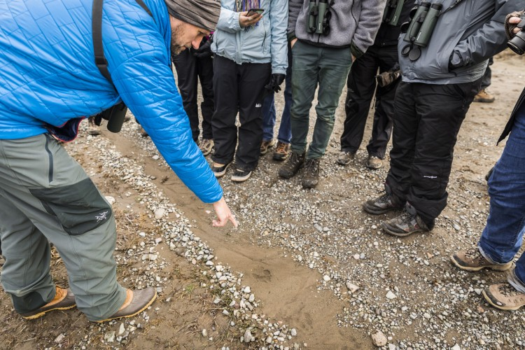Professor Aaron Wirsing points out wolf tracks on the side of the road in Yellowstone National Park.