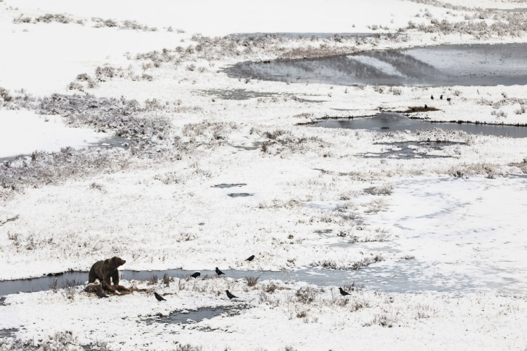 A grizzly bear, freshly awakened from hibernation, consumes a bison that drowned at Blacktail Pond over the winter. Ravens linger nearby, sneaking bites whenever possible.