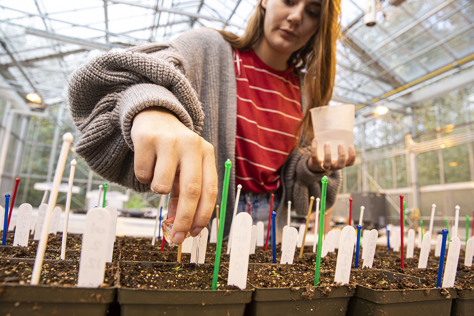 A student in Assistant Prof. Cynthia Chang's class waters seedlings in the  Sarah Simonds Green Conservatory at UW Bothell for an investigative biology research project. (Photo by Mark Stone)