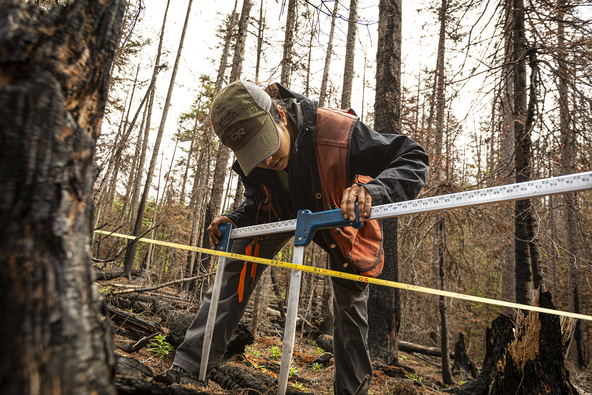 Jayasekera measures a downed log as part of a survey of the forest's recovery after the Norse Peak fire