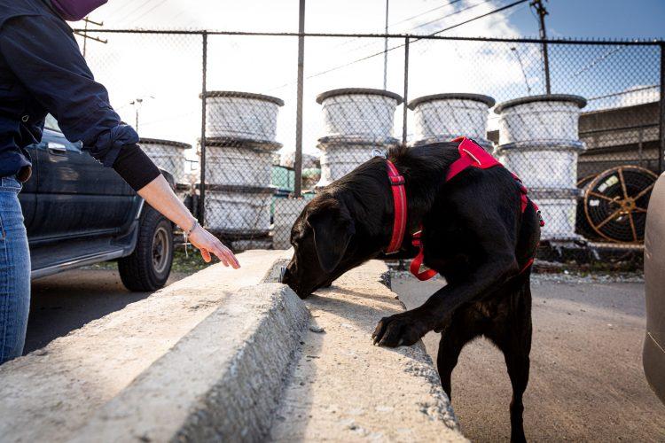 Jasper the dog sniffing concrete