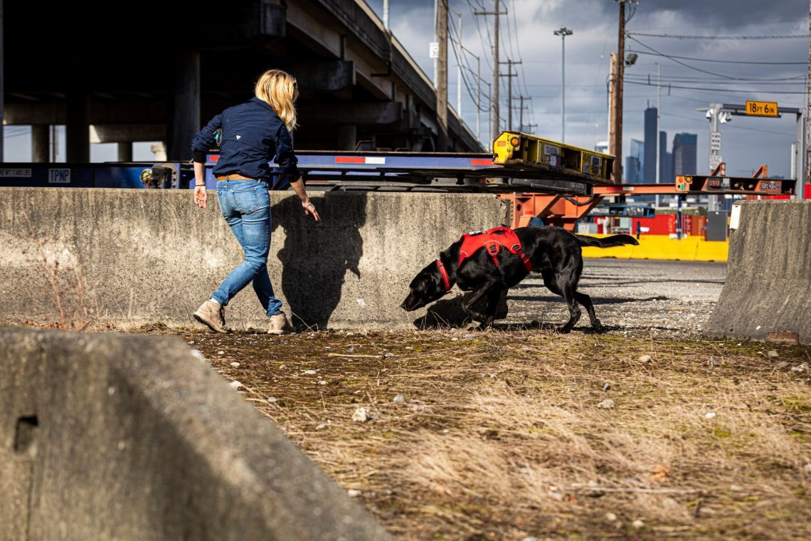 Dog searches for scent in urban Seattle setting.