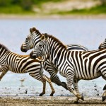 Pack of Zebra running
