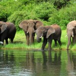 Elephants on the shoreline