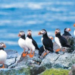 Iceland is home to one of the world's largest colonies of puffins