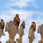 Peregrine Falcons on cacti