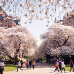 Campus shot w/cherry trees
