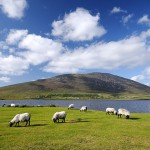 Sheep grazing, Achill Island, Ireland