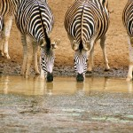 Zebras take a drink at a watering hole in Africa