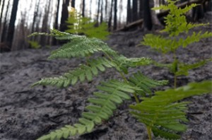 Close up of a fern in front of burned trees
