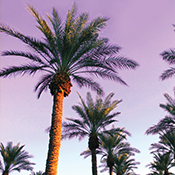 Southern California Palm Trees