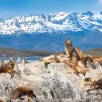 Sea Lions near Beagle Channel, Ushuaia