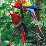 The scarlet macaw is a large Central and South American parrot.