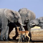 Three Elephants and an Impala, Africa