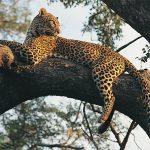 Leopard in tree, Africa