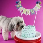 Poodle dog sniffing a barkday cake on a pedestal