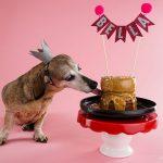 "Dog ""Bella"" licking a cake on a pedestal"