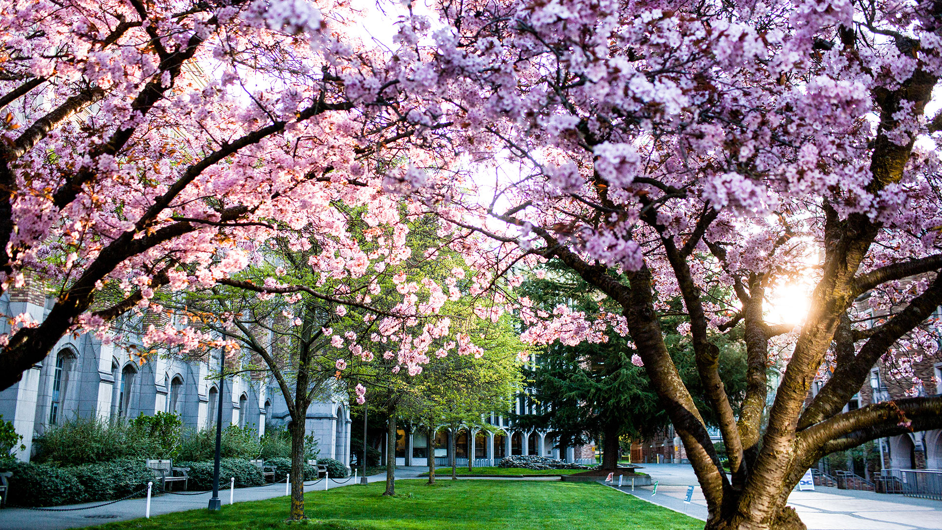 Cherry trees by Allen Library