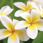 Close-up for white plumeria flowers