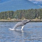 Humpback whale jumping out of water with trees and mountains in the background