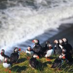 Atlantic puffins on a beach and heading into the surf.