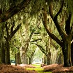 Southern Oak trees covered with Spanish moss