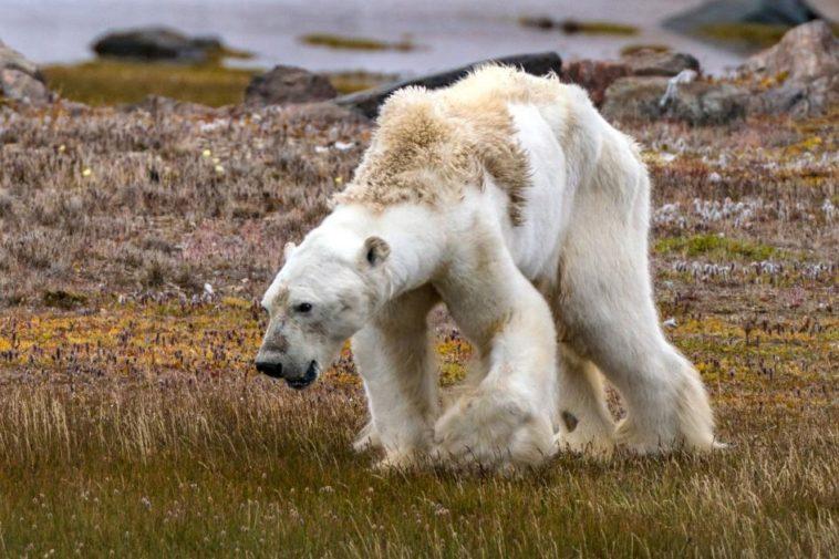 Efectos del cambio climático: Durísimo video de un oso polar muriendo de hambre