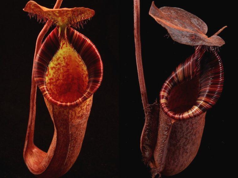 H.R. Giger: La planta carnívora bautizada en honor al artista suizo, creador del monstruo de «Alien»