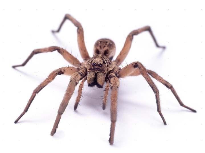 Las arañas se podrían comer a todos los humanos sobre la Tierra en un año (en teoría…)