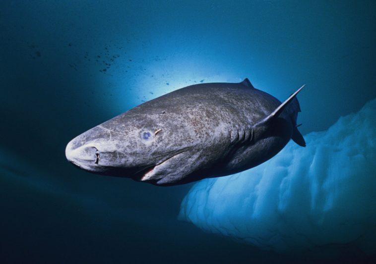 Un tiburón de 512 años: El vertebrado más viejo sobre la Tierra