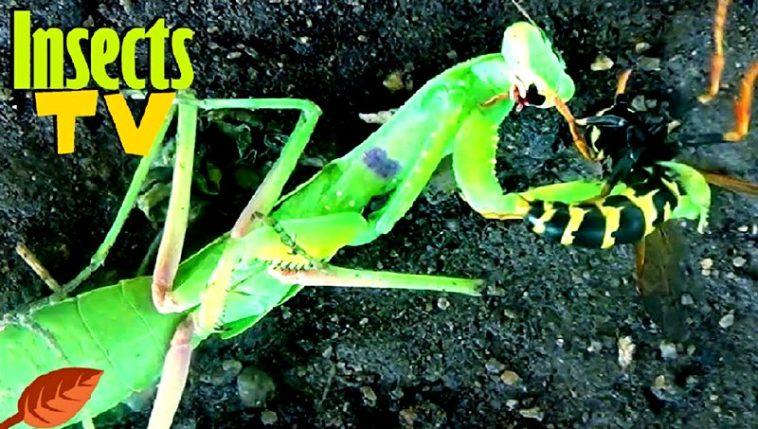Insects TV: Las peleas de insectos más descarnadas de Internet
