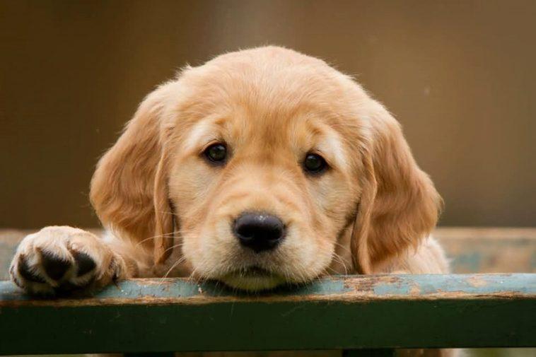 ¿Por qué los perros ponen «ojos tristes» cuando te miran?