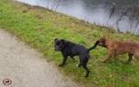 Leavitt Bulldog pack meets other dog packs