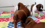 Leavitt Bulldogs puppies playing 3,5 weeks old