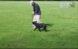 David Leavitt training a young Leavitt bulldog male in Europe