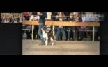 Leavitt Bulldog Freedombulls Hugo Boss doing obedience