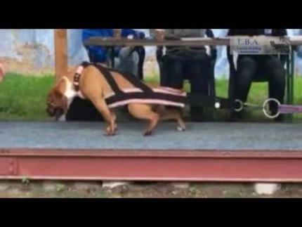 Leavitt Bulldogs La Combe Bulldogs Louisianne 54Lbs