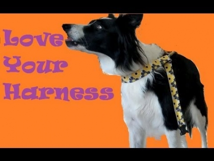 Teach your dog to love wearing a harness