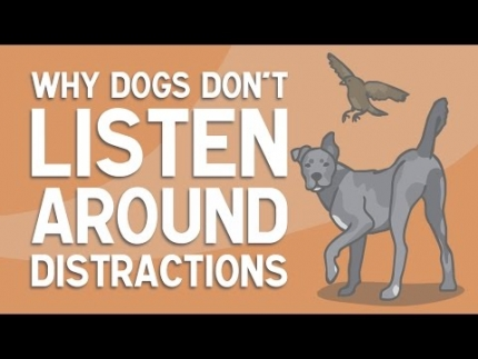 Why dogs don't listen around distractions