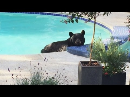 Bear lounges in pool, moves to hot tub in Vancouver yard