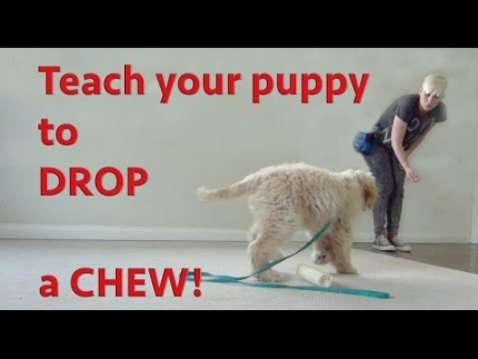 Prevent food guarding in puppies - teach drop the chew