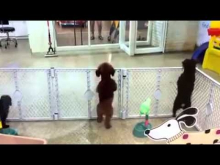 Dog day care puppy bouncing with excitement