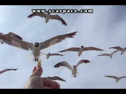Wild Seagull Fed by Hand