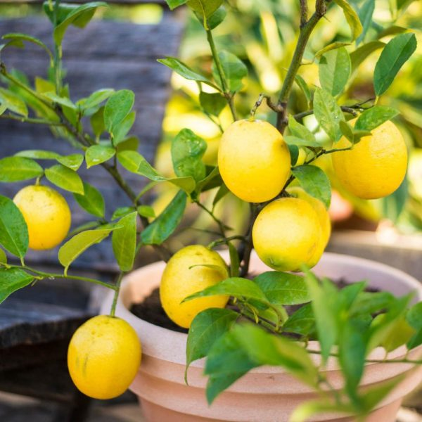 real_estate_meyer_lemon