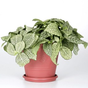 real_estate_exotic_angel_plant