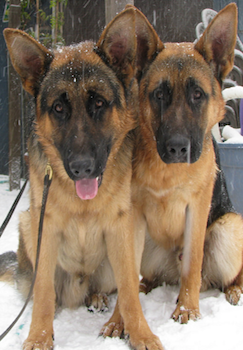 German Shepherd Dog Rescue located in Portland, Oregon