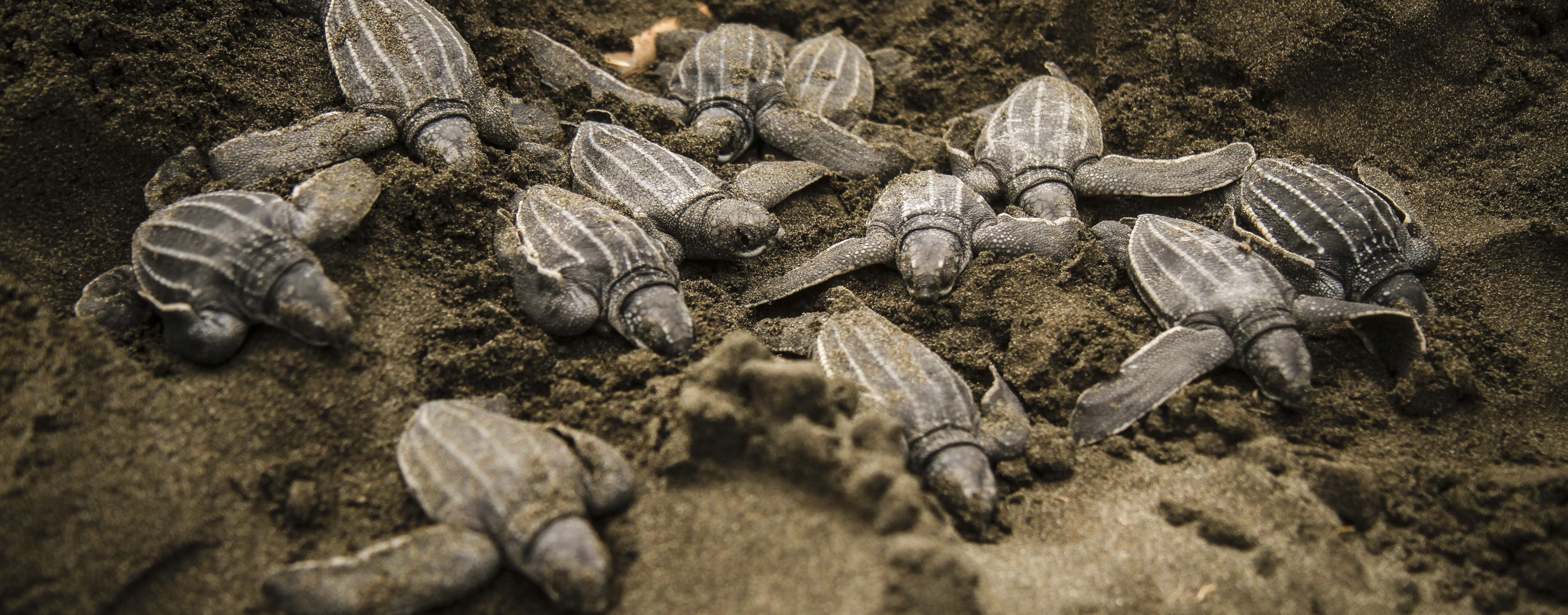 Image of baby turtles hatching, Costa Rica